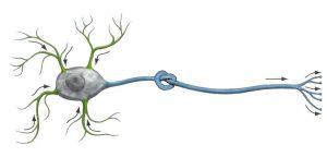 124-Neuronknoop-1-300x144